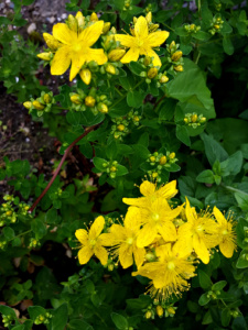 Hypericum perforatum - picture by Fabienne